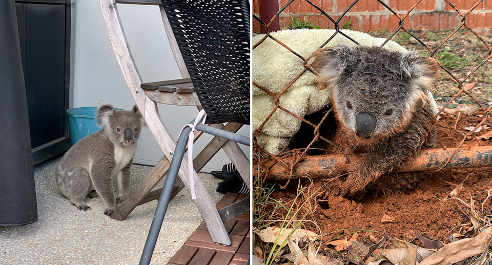 Koalas continue to be displaced by development in South East Queensland. Source: Wildcare