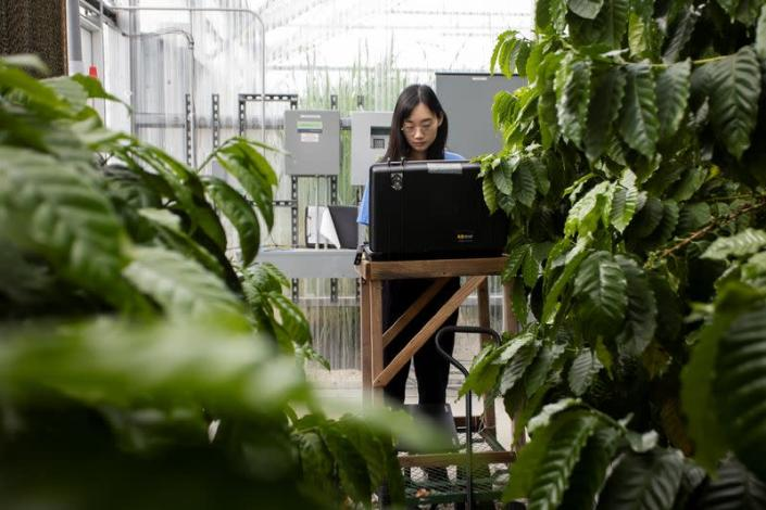 Xiaolei Guo utilises artificial intelligence image analysis software to examine greenhouse coffee tree roots