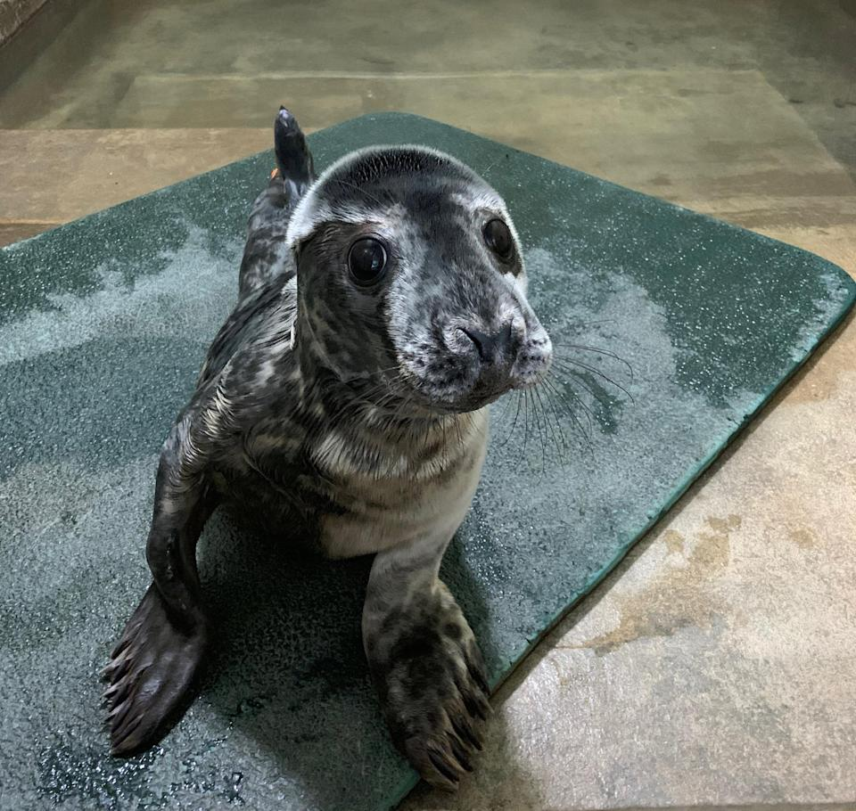 <em>If the pup hadn't been found, it would probably have starved to death, the RSPCA said (Picture: SWNS)</em>