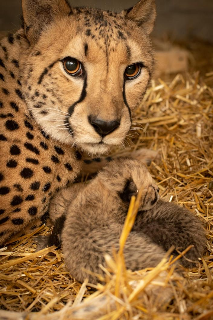 Two cheetah cubs with their surrogate mother, Izzy, at the Columbus Zoo and Aquarium.