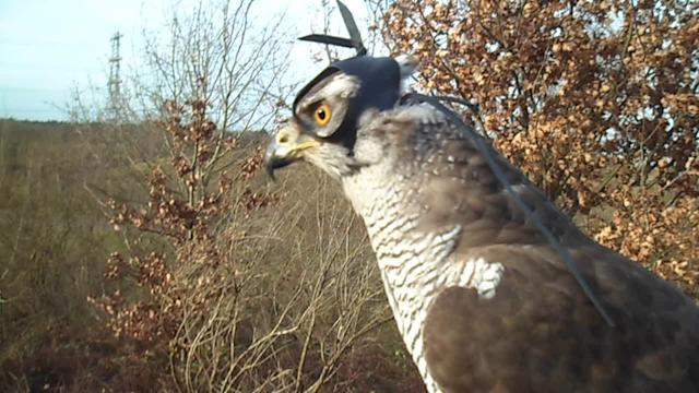 Shinta the goshawk