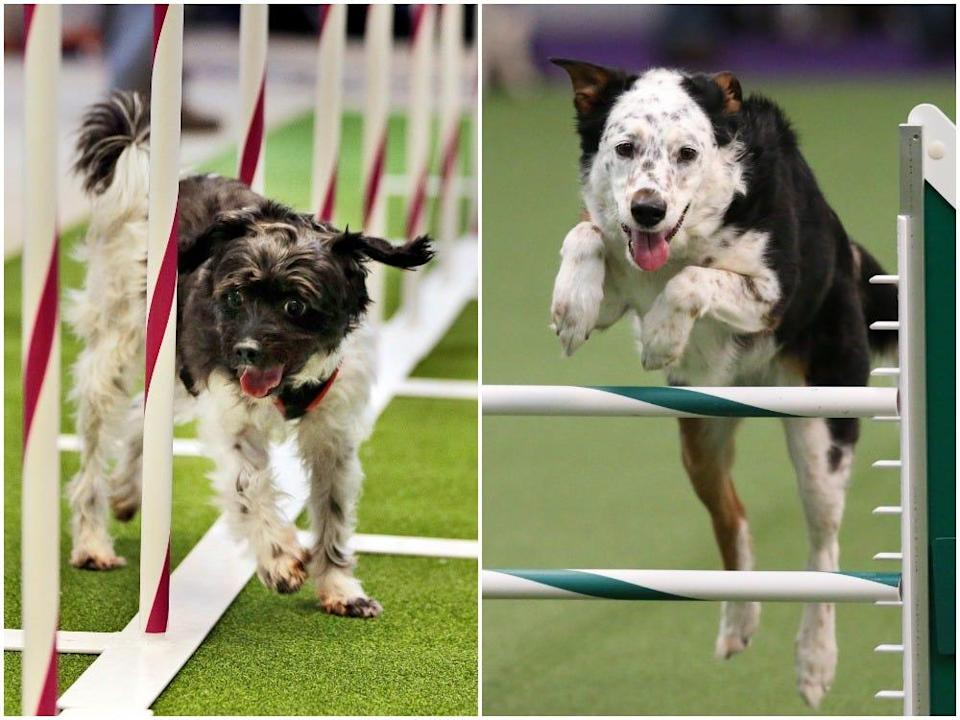 Dogs compete at the Westminster Dog Show.