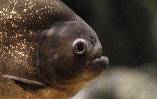 Importing piranhas for exotic aquariums is banned in China and other Asian countries