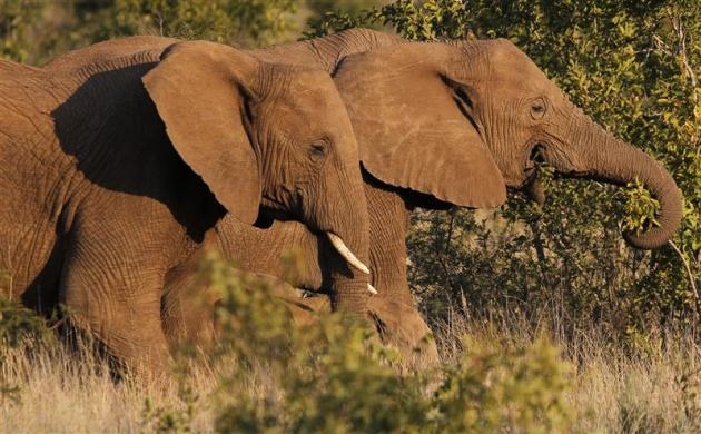 A pair of elephants walk through scrub in the dusk light in Pilanesberg National Park in South Africa's North West Province April 19, 2012.