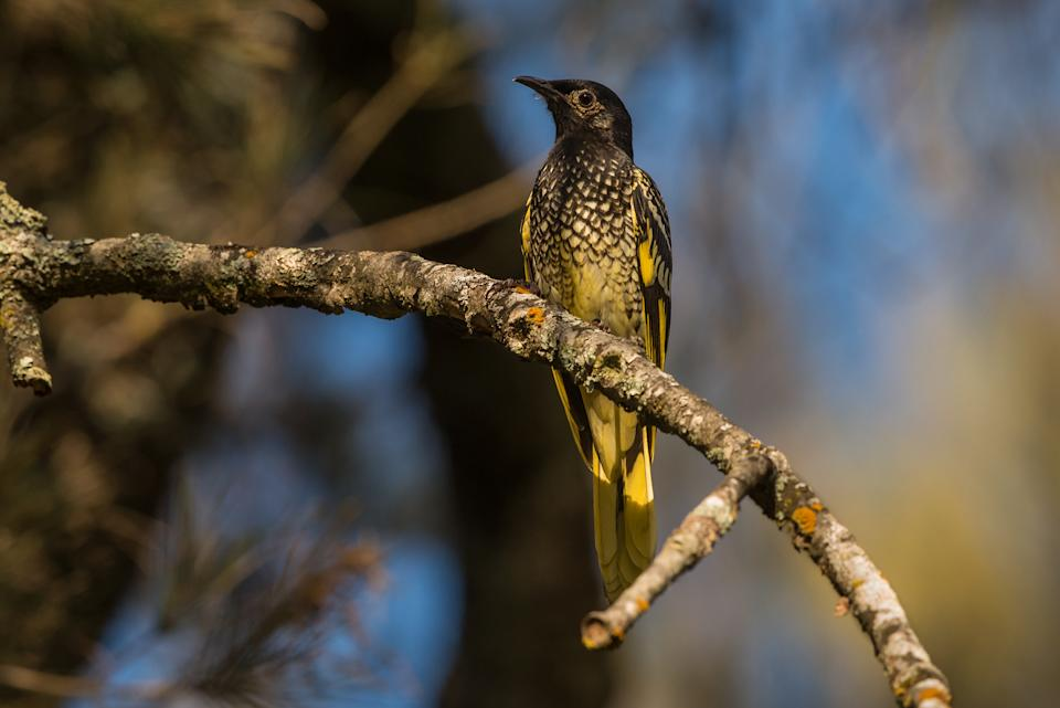 The Regent Honeyeater is one of Australia's numerous critically endangered animals and our version of the Passenger Pigeon. They were once found in vast flocks but have dwindled to around 100 birds (or fewer).