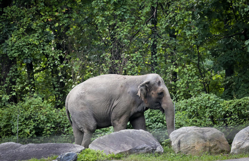 """FILE - In this Oct. 2, 2018 file photo, Bronx Zoo elephant """"Happy"""" strolls inside the zoo's Asia Habitat in New York. On Tueday, Feb. 18, 2020, Bronx Judge Allison Tuitt dismissed the Nonhuman Rights Project's petition to have the elephant declared to have human-like rights and transferred to a sanctuary. They argued at that Happy is """"unlawfully imprisoned"""" at the zoo where she has lived since 1977. She has been kept separate from other elephants for more than a decade. (AP Photo/Bebeto Matthews, File)"""