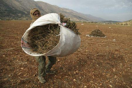 A Syrian refugee (who asked to withhold his name) from Raqqa carries a bundle of cannabis during the harvest in the Bekaa valley, Lebanon October 19, 2015. REUTERS/Alia Haju