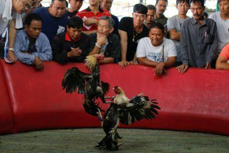 A cockfight is seen during the event organised to celebrate the Lunar New Year and the year of the Rooster on the outskirts of Bangkok, Thailand January 29, 2017.  REUTERS/Jorge Silva