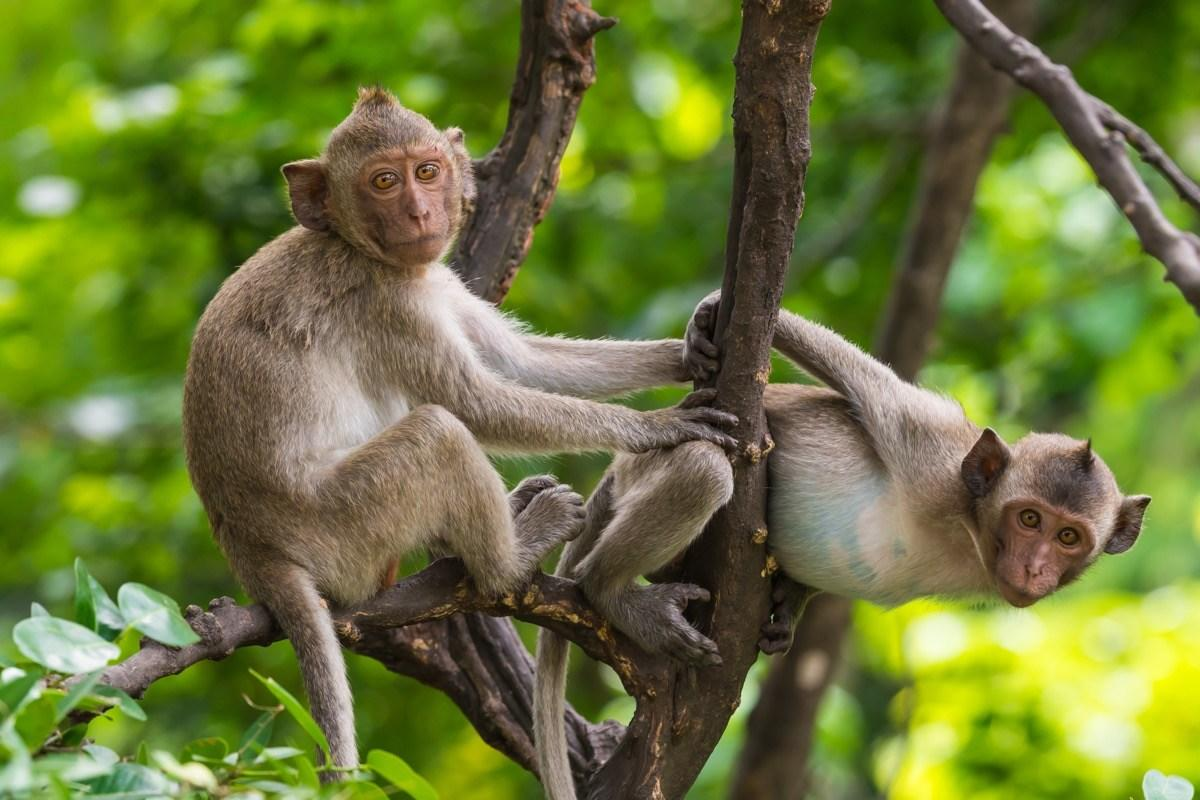 """If you happen to be around a monkey, you might be inclined to feed it a banana. But the fact is, bananas contain far too much sugar for monkeys to handle. """"Giving this fruit to animals is equivalent to giving them cake and chocolate,"""" according to <a href=""""https://www.paigntonzoo.org.uk/explore/news/detail/taking-diet-tips-from-monkeys"""" target=""""_blank""""><strong>Dr. Amy Plowman</strong></a>, head of conservation and advocacy at the Paignton Zoo in Devon, U.K. """"Compared to the food they would eat in the wild, bananas … have lots of calories and contain much more sugar that's bad for their teeth and can lead to diabetes and similar conditions. It can also cause gastrointestinal problems as their stomachs are mostly adapted to eating fibrous foods with very low digestibility."""" The more you know!"""