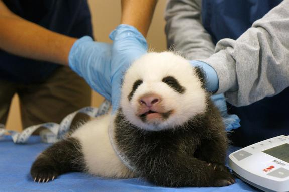 Post-Shutdown Panda Cam Fix Stymied: Fans Overwhelm Site
