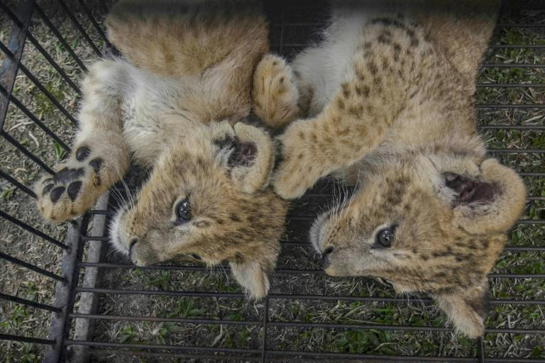 Two lion cubs were rescued by police from illegal wildlife traffickers in Pekanbaru in Indonesia's Riau province (AFP Photo/Wahyudi)