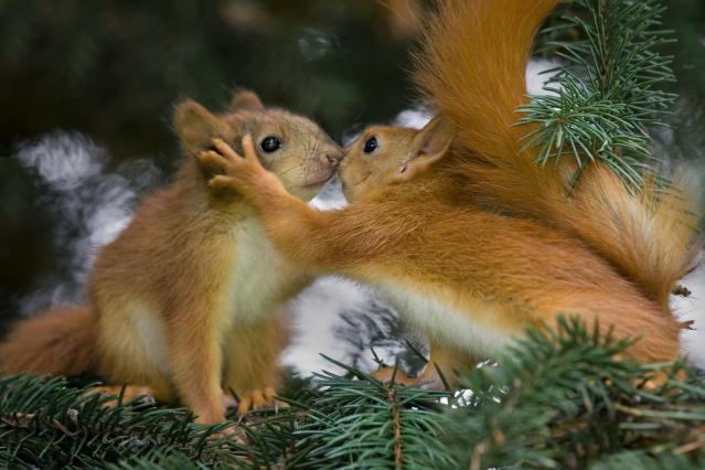 <p>Red squirrels sharing a kiss. (Photo: Caters News) </p>