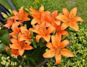 "<p>Easy to grow and early to bloom—we're hooked already! The name ""pixie"" alludes to their smaller stature, making them a good candidate for container gardening.</p><p><em><strong>Division: Asiatic hybrid</strong></em></p>"