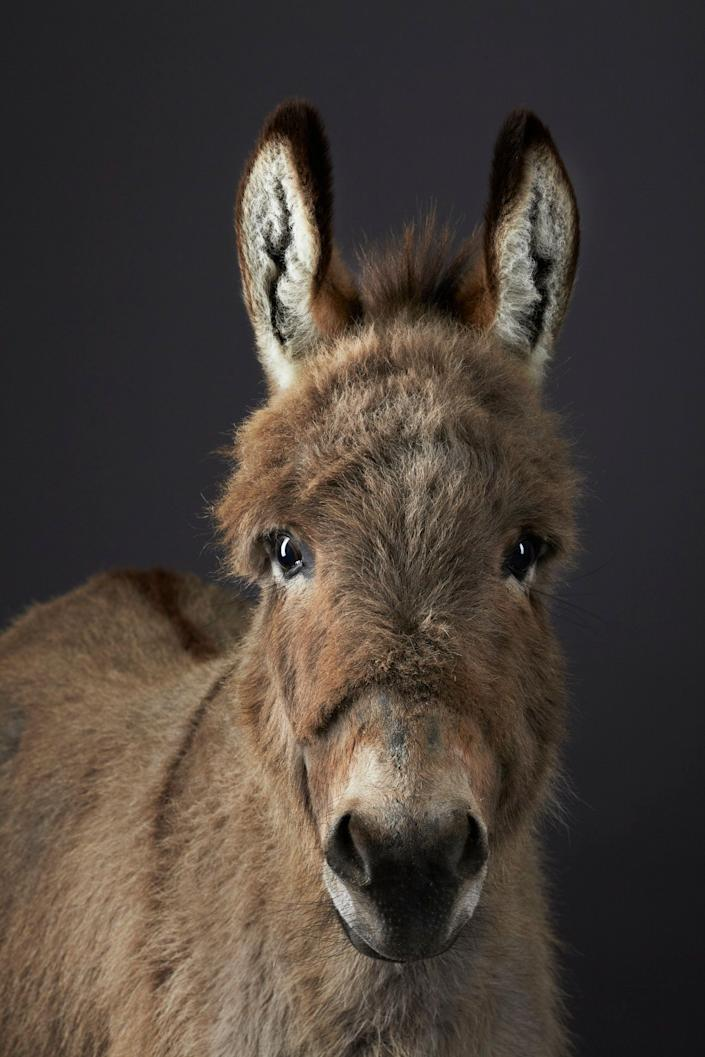 Miniature shetland donkey, Stanley, photographed in the studio