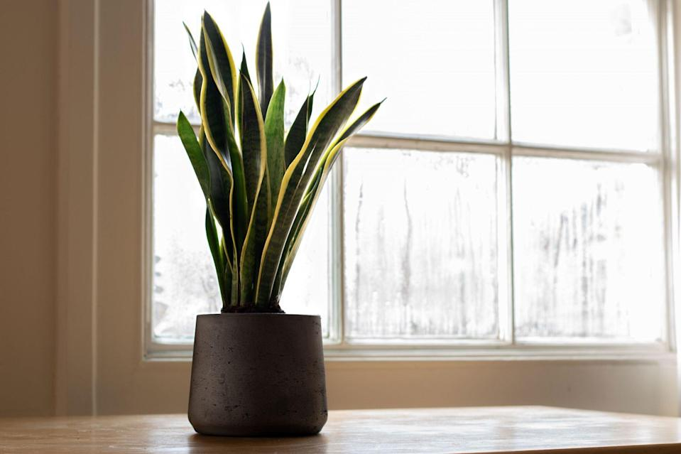 Snake plant next to a window