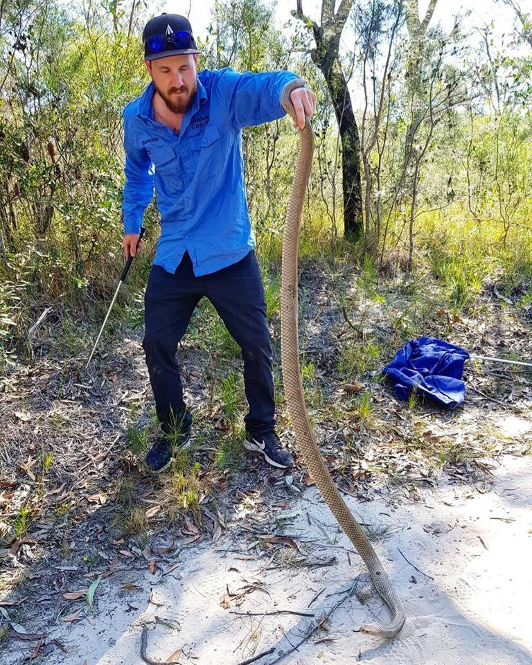 Donnie Guerin from Sunshine Coast Snake Catchers holds the huge eastern brown snake by the tail.