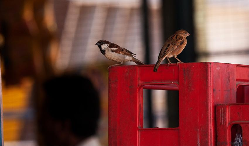 Sparrows happily co-exist with us.