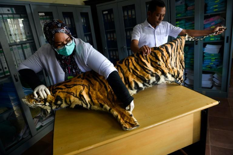 Tigers are thought to number just 22 in Myanmar