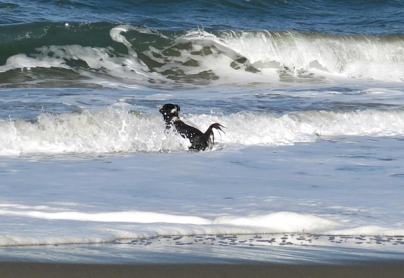 This image provided by Pamela J. Boehland shows her dog, Pike, playing in the surf off the California coastline. Watching as a beloved dog is swept out to sea is heart-wrenching. Doing nothing seems unthinkable. But experts say that is exactly what a dog owner should do: nothing. The average dog is a better swimmer than the average human. (AP Photo/Pamela J. Boehland)