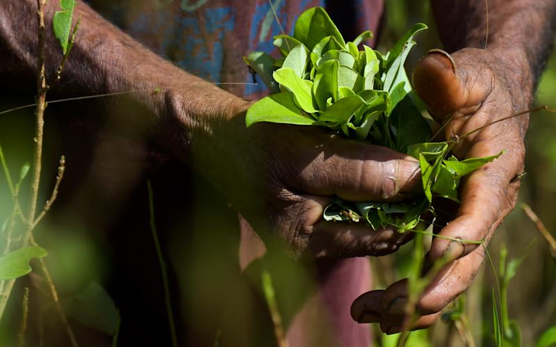 "A ""raspachin"" (farmer collector of coca), picks coca leaves in a field next to the river Inirida in the Guaviare department, Colombia on September 25, 2017. The scarce 300 settlers of La Paz, in the department of Guaviare (southeast) are connected only through the river. Their currency is the product they harvest, the coca leaves, the base for the production of cocaine. Now, under pressure from the United stated, the largest world consumer of cocaine, the Colombian governement plans to erradicate 100,000 hectares of the culture, willingly or not. / AFP PHOTO / Raul Arboleda (Photo credit should read RAUL ARBOLEDA/AFP/Getty Images)"