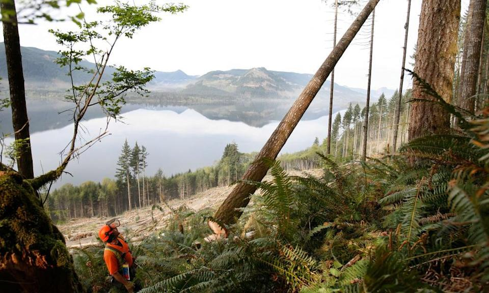 A logger cuts down a tree with a chainsaw on Vancouver Island, British Columbia, Canada.B906D3 A logger cuts down a tree with a chainsaw on Vancouver Island, British Columbia, Canada.