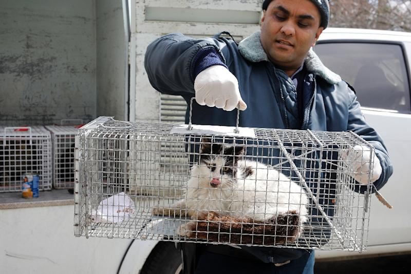 But some experts say that only a large-scale, rapid sterilisation programme would be capable of bringing the stray cat population under control (AFP Photo/MENAHEM KAHANA)