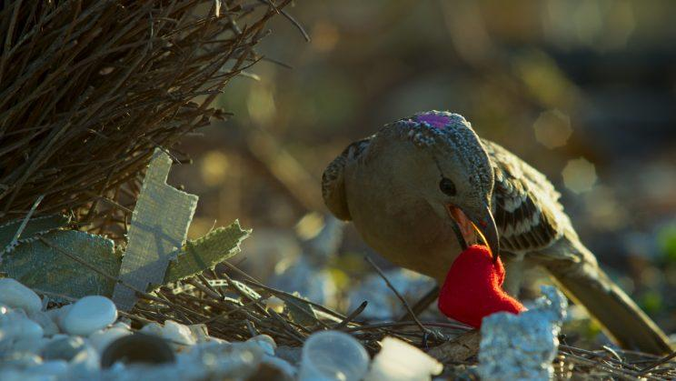 In Australia, a great bowerbird attempts to impress a potential mate by showing off his most prized object