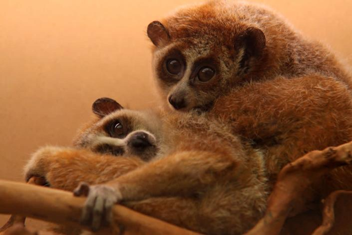 Slow lorises are highly-prized in Japan's exotic pet trade, according to a new study: Getty Images/iStockphoto