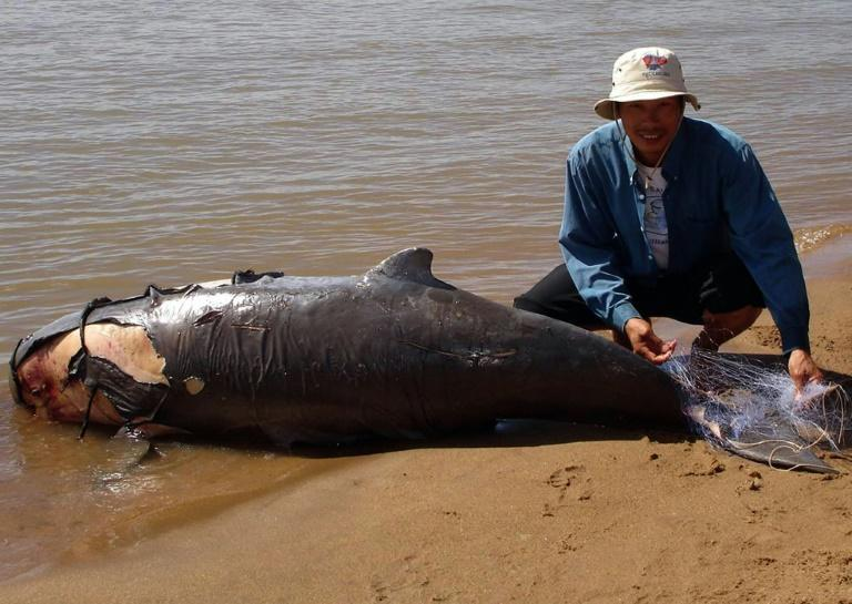 Dolphins can become entangled in discarded fishing nets that stop them being able to get to the surface to breathe (AFP/WWF CAMBODIA / WWF CANON)