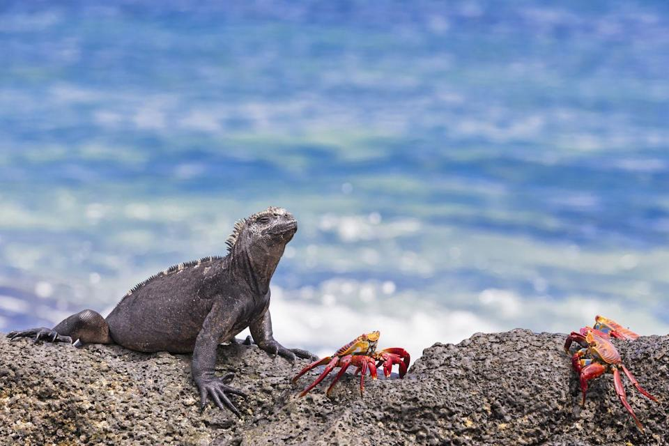 """<p>Wildlife experiences don't get better than a trip to the unique and remote Galapagos Islands, where an astonishing 9,000 species of flora and fauna thrive. The wild, 19-island archipelago sits some 600 miles from mainland Ecuador and is known for remaining relatively unspoilt by humans. Here, you can see the marine iguana, Galapagos penguin, Galapagos tortoise, the Sally Lightfoot crab and other remarkable species. The best way to experience the Galapagos Islands is on an expedition cruise.</p><p><a class=""""link rapid-noclick-resp"""" href=""""https://www.countrylivingholidays.com/tours/galapagos-islands-cruise-hurtigruten"""" rel=""""nofollow noopener"""" target=""""_blank"""" data-ylk=""""slk:BOOK IT"""">BOOK IT</a> <strong>Country Living has an 11-day Galapagos holiday with our partner Hurtigruten, taking you on a sustainable discovery of the islands between January and December 2022.</strong></p>"""