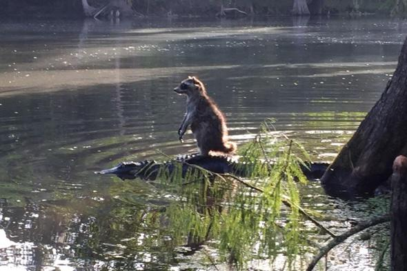 Raccoon hitches a ride on an alligator in Florida