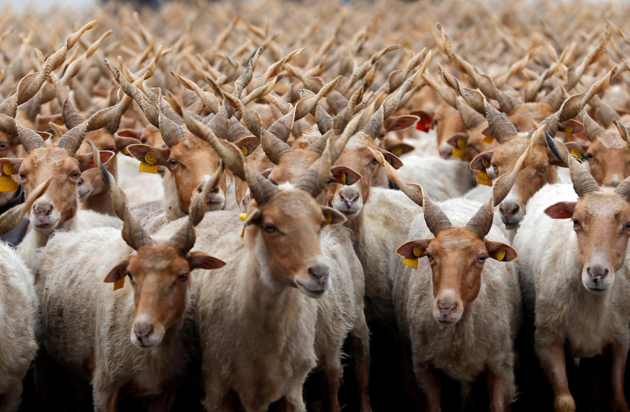 <p>Racka sheep are seen during celebrations for the start of the new grazing season in the Great Hungarian Plain in Hortobagy, Hungary, April 22, 2017. (Photo: Laszlo Balogh/Reuters) </p>