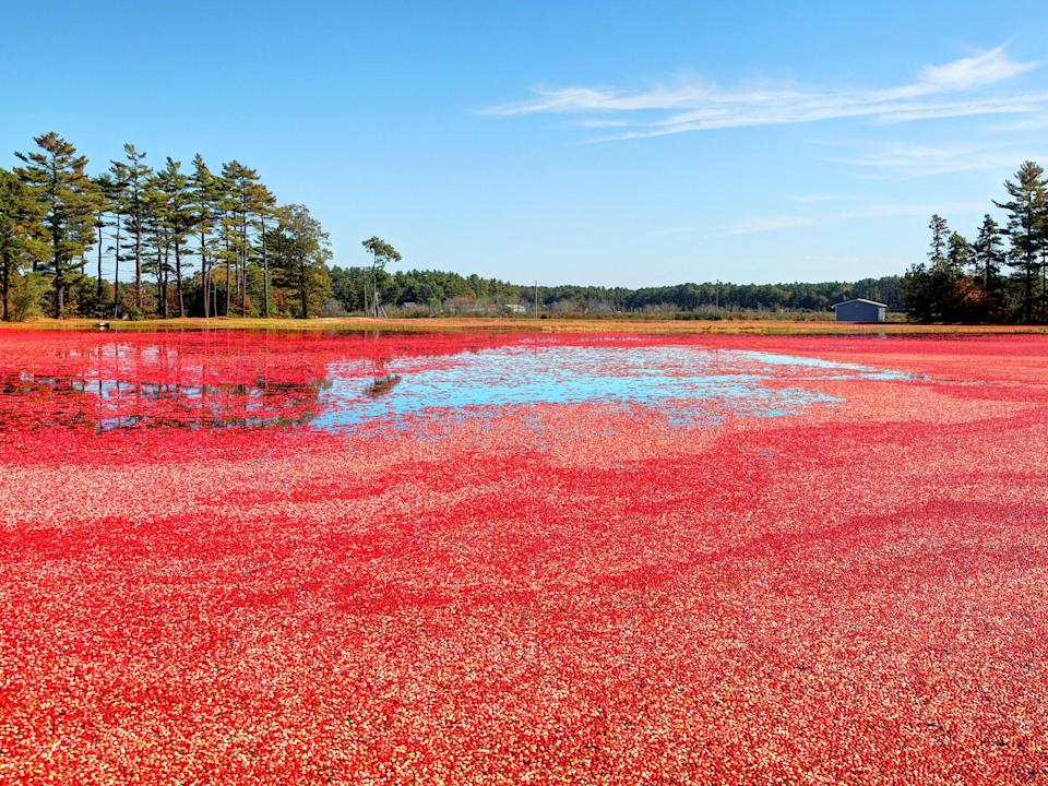 "<p><strong>Best thing to do in Massachusetts:</strong> Become a cranberry farmer for a day</p> <p>If you've ever wanted to know what it's like to harvest cranberries, Mayflower Cranberries in Plympton has you covered. Paul Rubio <a href=""https://www.cntraveler.com/gallery/best-things-to-do-in-new-england-in-the-fall?mbid=synd_yahoo_rss"" rel=""nofollow noopener"" target=""_blank"" data-ylk=""slk:describes the experience"" class=""link rapid-noclick-resp"">describes the experience</a> for <em>Traveler</em>: ""You'll put on a pair of overalls, grab a rake, and wade through the flooded cranberry bogs of rural Massachusetts, harvesting several tons of vitamin-rich red berries. This isn't just for show—all locations are working farms and part of the Ocean Spray cooperative."" Have any of your friends done that yet?</p>"