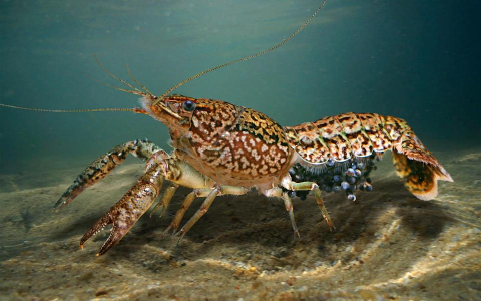The crayfish don't need males to reproduce -  Paulo Oliveira / Alamy Stock Photo