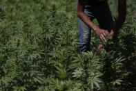 A farmer works in a marijuana field in the mountains surrounding Badiraguato, Sinaloa state, Mexico, Tuesday, April 6, 2021. In Mexico, the marijuana legalization effort is generating uncertainty among families that have cultivated the crop for generations, with many fearing that prices they are paid will continue to drop and what capos will do when faced with a new legal business. (AP Photo/Eduardo Verdugo)