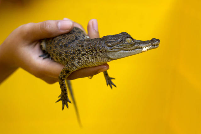 <p>An officer holds a baby saltwater crocodile at BKSDA (Natural Resources Conservation Board) office in Yogyakarta August 10, 2011. The reptile is one of eight baby saltwater crocodiles which survived during a move to Gembiraloka Zoo in Yogyakarta, after officers confiscated 27 of the species about three weeks ago as they were being smuggled from Central Kalimantan province to Central Java for trade. (Photo: Dwi Oblo/Reuters) </p>