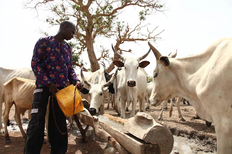 A Fulani herdsman waters his cattle on a dusty plain in southeast Nigeria (AFP Photo/Emmanuel Arewa)