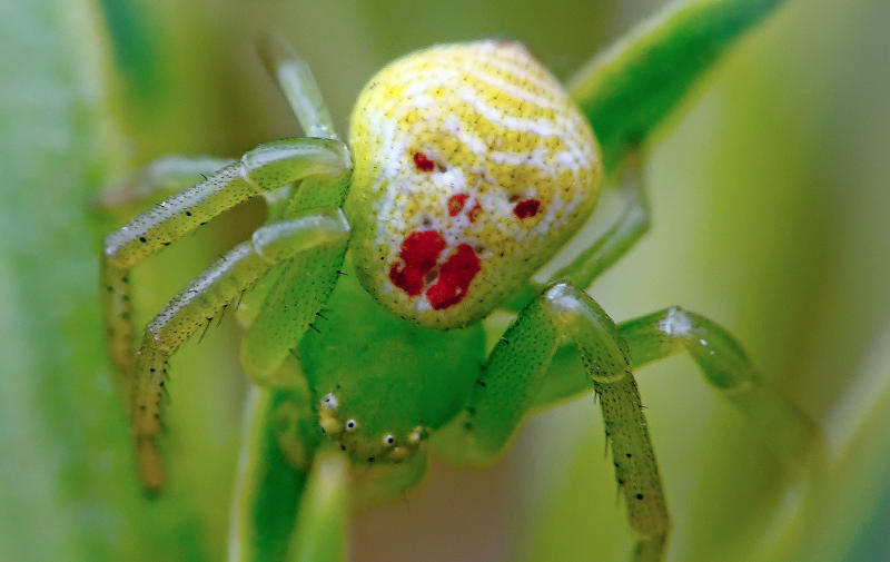 The spider with a clown face, from the thomisidae familu, was shot by Igor Ryabov
