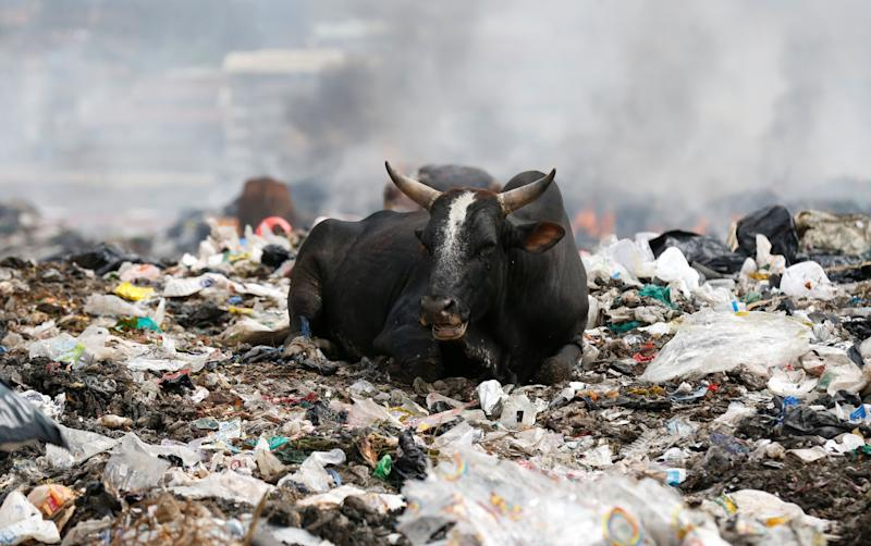 A cow rests on plastic materials at the Dandora dumping site on the outskirts of Nairobi, Kenya. (Photo: Thomas Mukoya / Reuters)
