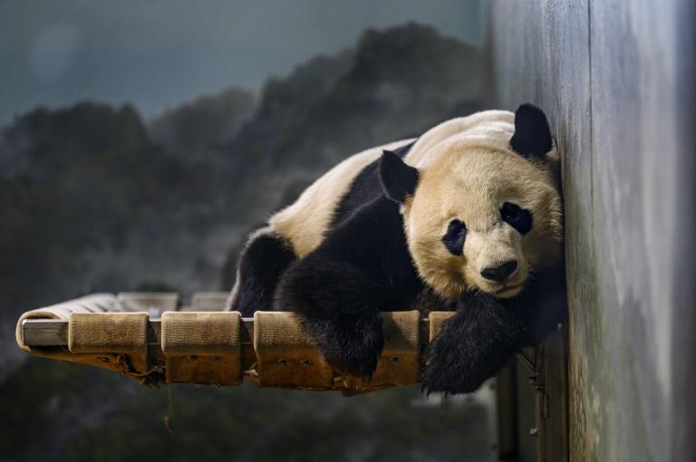 US-born giant panda Bei Bei returned to China on a special cargo plane dubbed the 'Panda Express'