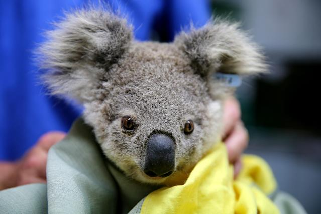 It is estimated more than a billion animals have died this bushfire season, however a simple act is killing koalas, according to a wildlife shelter (Getty)
