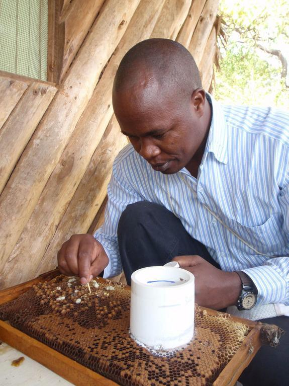 Elliud Muli, a scientist at Kenya's International Centre of Insect Physiology and Ecology, inspects a drone brood for <i>Varroa</i> mites. Brood refers to the eggs, larvae and pupae of bees. Muli, a beekeeping expert, was a collaborator on rece