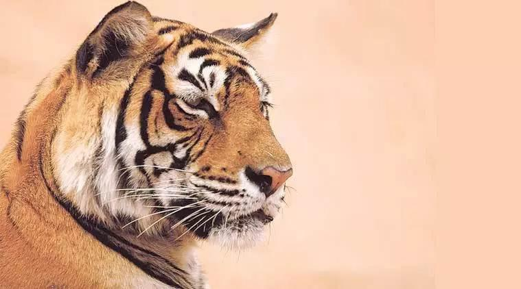Tigers in india, Tigers in Bandhavgarh, Tigers in Kanha, Tigers in Sariska, Tigers in stress, Tiger census, Wildlife Conservation in India, Indian express