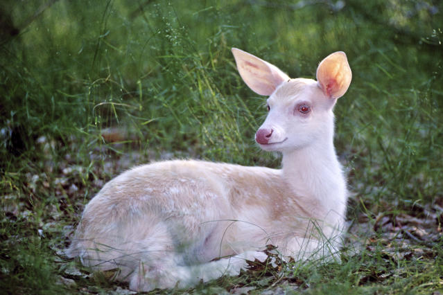 <p>White tailed deer lying down in summer. (Photo: Tom and Pat Leeson/Caters News) </p>