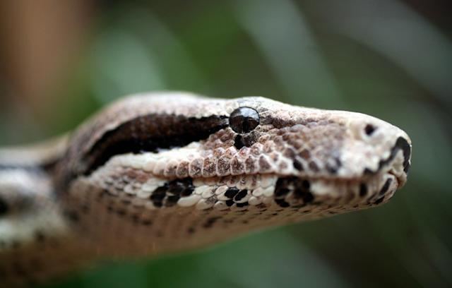 A common boa constrictor at Syon Park, West London, March 7, 2006. (Photo: Graham Barclay/Bloomberg via Getty Images)