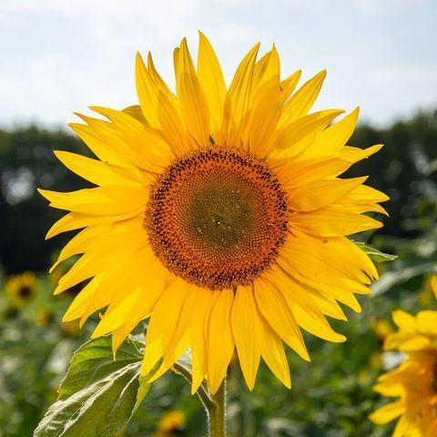 """<p>The cheery sunflowers at Cotswold Farm Park in Cheltenham are sure to brighten your mood. Founded to help protect rare breeds of farm animals in 1971, visitors will not only find blossoming sunflowers but plenty of furry four-legged friends, too. </p><p><a class=""""link rapid-noclick-resp"""" href=""""https://cotswoldfarmpark.co.uk/"""" rel=""""nofollow noopener"""" target=""""_blank"""" data-ylk=""""slk:MORE INFO"""">MORE INFO</a></p><p><a href=""""https://www.instagram.com/p/CDst0DopasF/"""" rel=""""nofollow noopener"""" target=""""_blank"""" data-ylk=""""slk:See the original post on Instagram"""" class=""""link rapid-noclick-resp"""">See the original post on Instagram</a></p>"""
