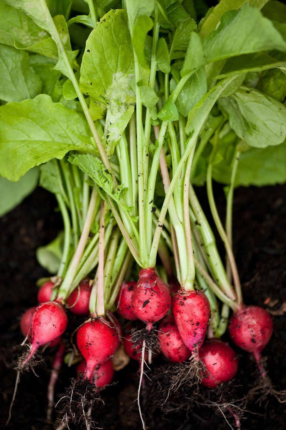 """<p>Radishes are quick and easy to grow from seed, especially if you're a beginner. Spending time in nature is a great way to boost your wellbeing, so why not slip on your gardening gloves and give radishes a try. </p><p><a class=""""link rapid-noclick-resp"""" href=""""https://www.waitrosegarden.com/plants/_/radish-mixed/classid.2000023116/"""" rel=""""nofollow noopener"""" target=""""_blank"""" data-ylk=""""slk:BUY NOW VIA WAITROSE GARDEN"""">BUY NOW VIA WAITROSE GARDEN</a></p>"""