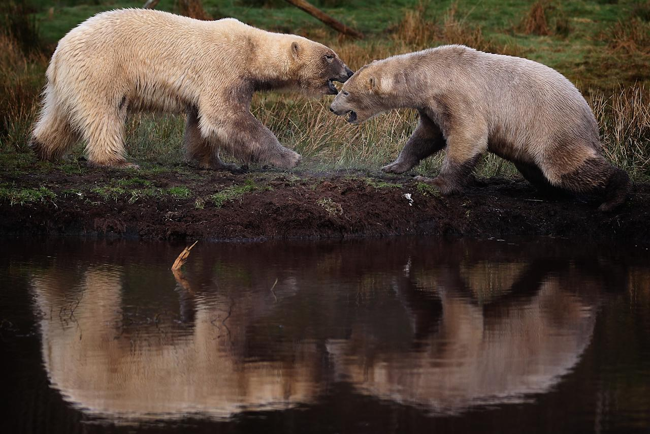 Walker (R), the polar bear, meets with new male companion Arktos at the Highland Wildlife Park on April 9, 2012 in Kingussie, Scotland. Arktos arrived from Hannover Zoo in Germany on April 4 to be a companion to the Park's resident polar bear Walker.  A year older than Walker and slightly larger, Arktos is four-years-old and it's hoped that the bears will establish a relationship of friendly competitiveness. (Photo by Jeff J Mitchell/Getty Images)