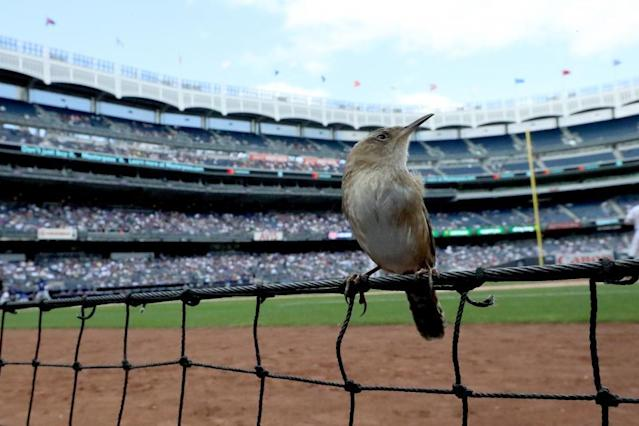 A bird sits among the first base photo well at Yankee Stadium while the New York Yankees take on the Toronto Blue Jays in the Bronx, New York City, September 29.