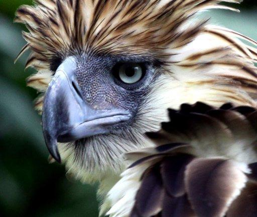 """The Philippine eagle is the world's largest eagle and is """"critically endangered"""" with just 90-250 pairs left in the wild"""